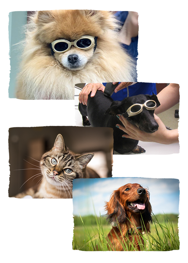 pet surgery and laser therapy animals